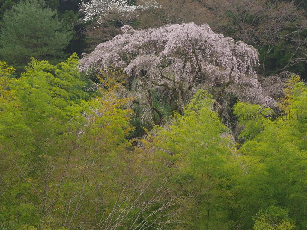 2016年桜旅