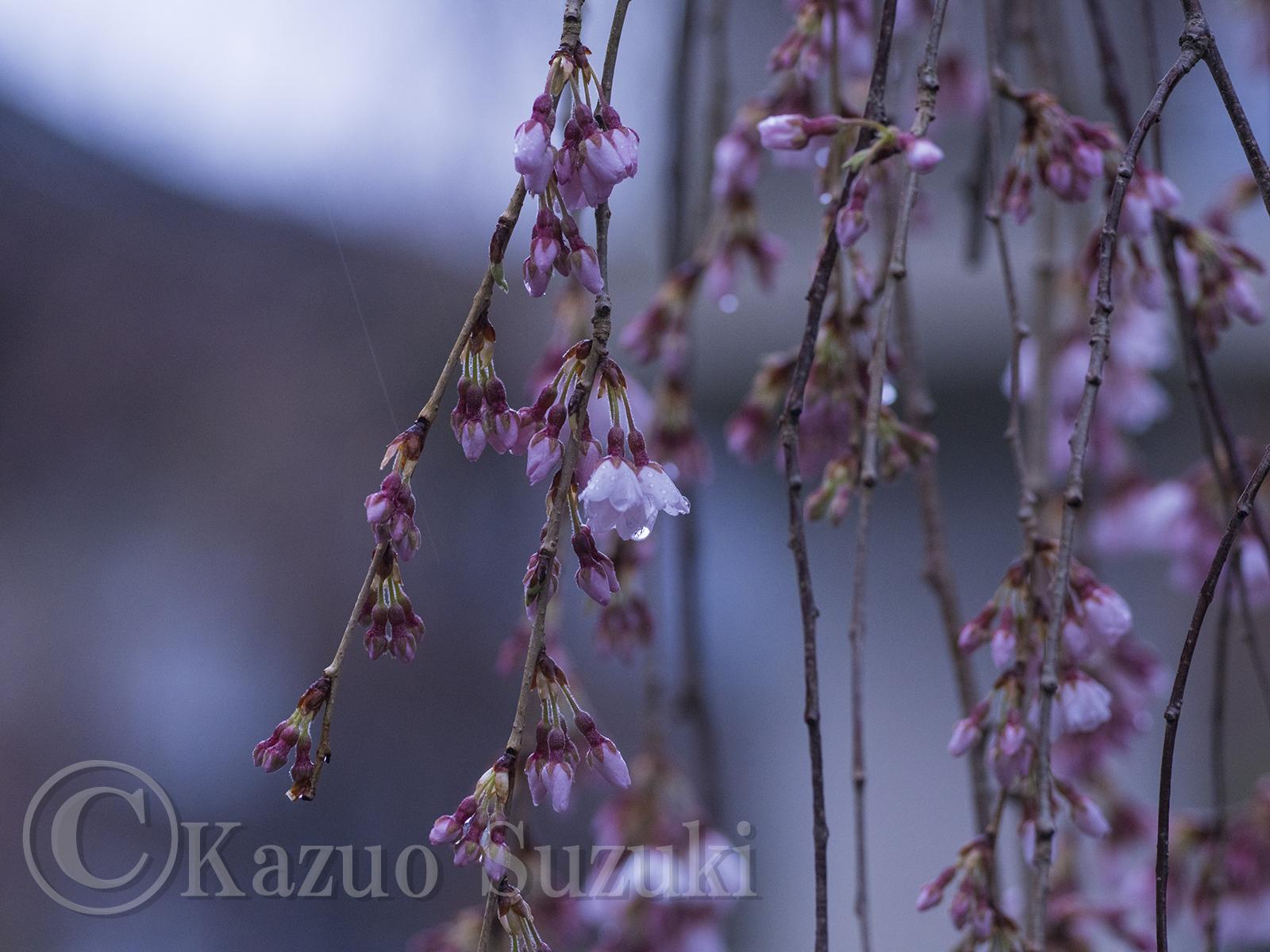 2017年桜旅