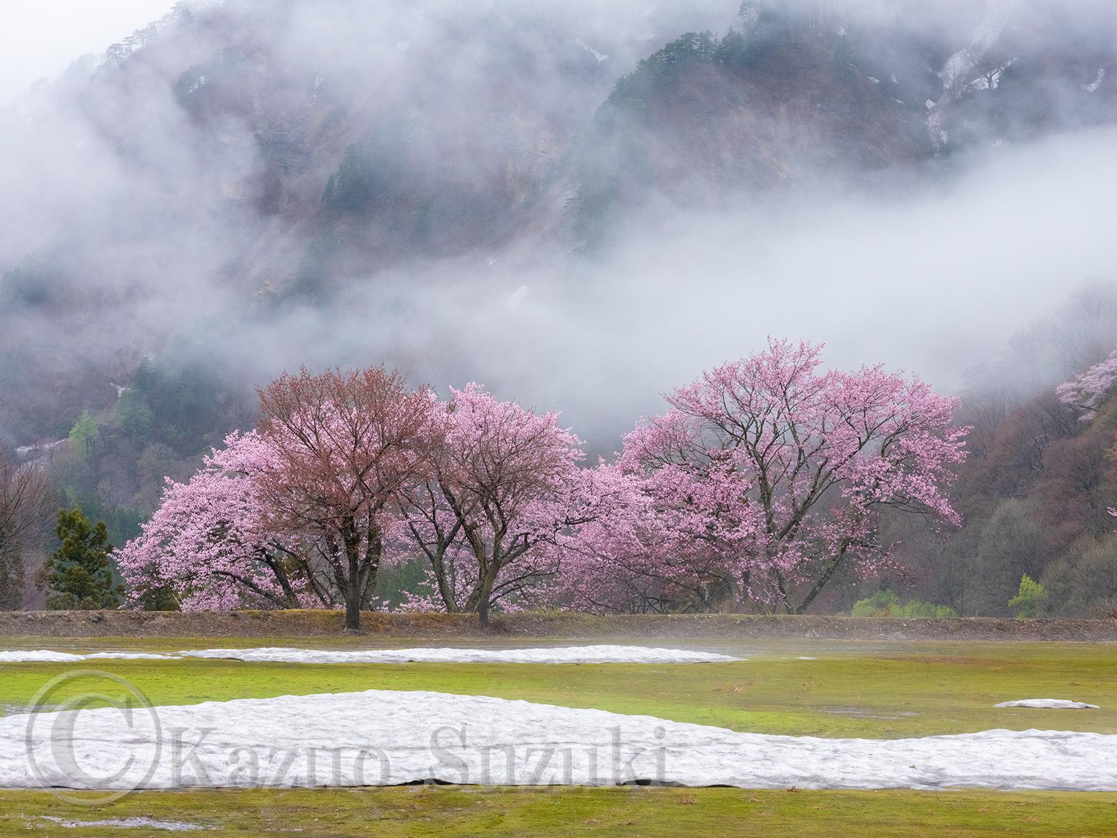 2019桜旅